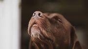 Hunde riechen Corona-Infektionen