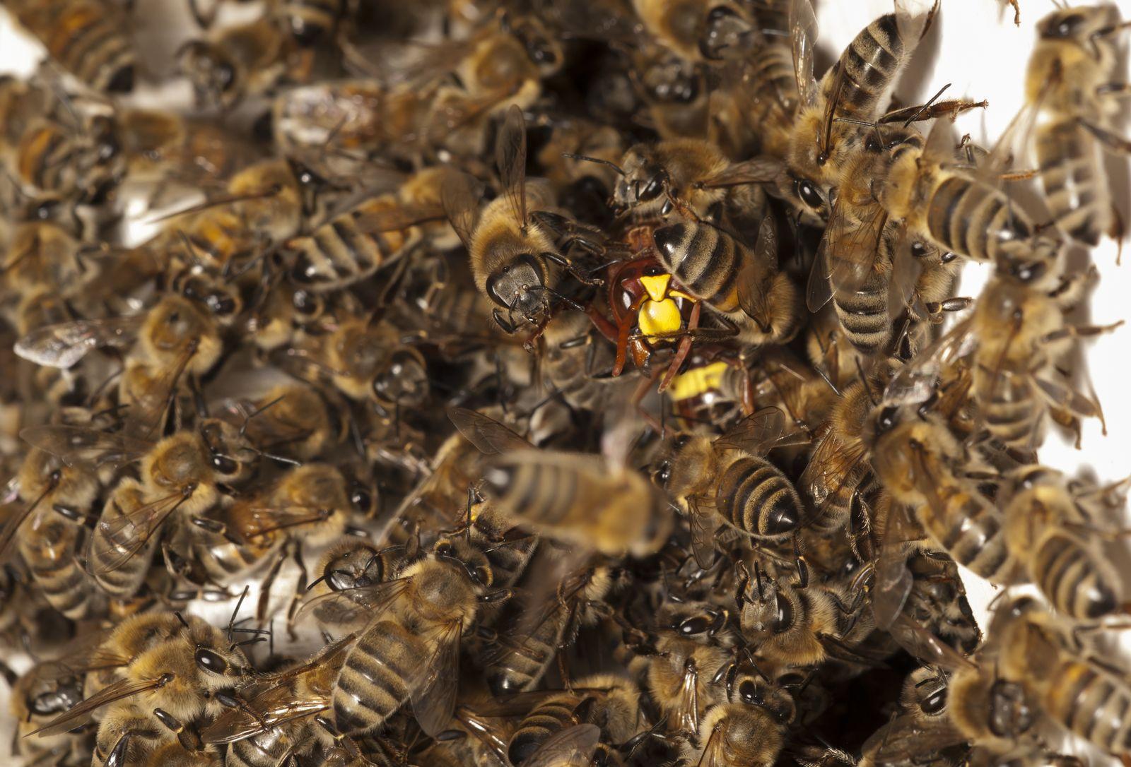Hornisse/ Bienen