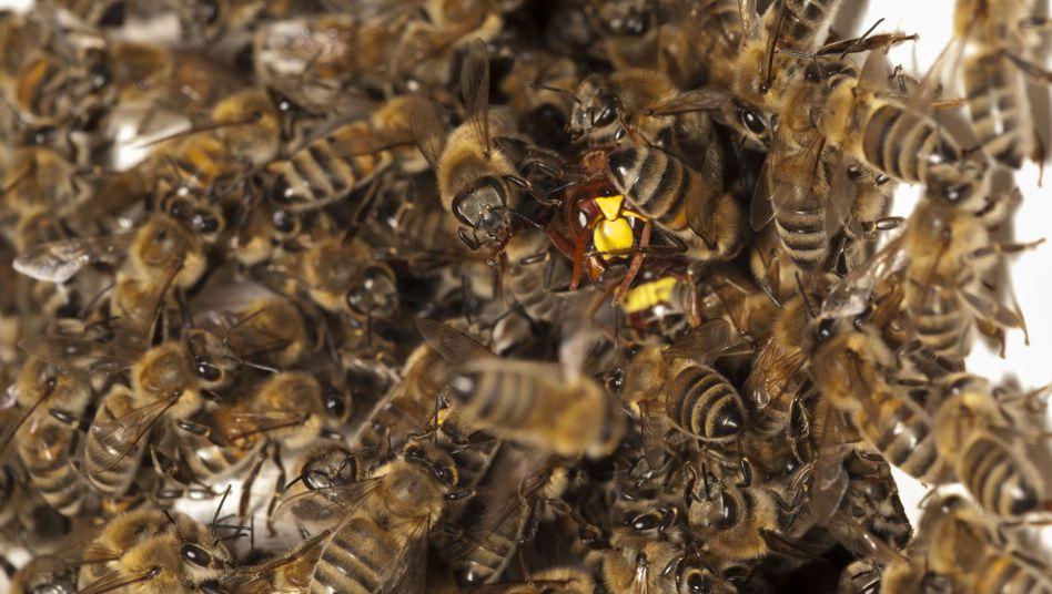 Bienen im Abwehrkampf gegen Hornisse: Tod nach 20 Minuten