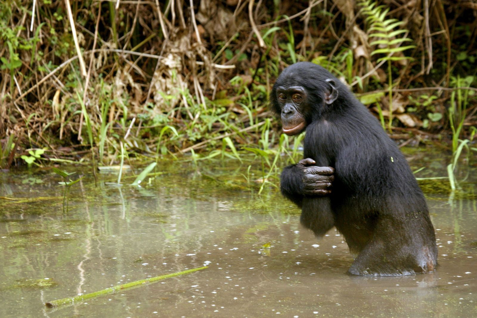 Bonobo / Zwergschimpanse / Schimpanse