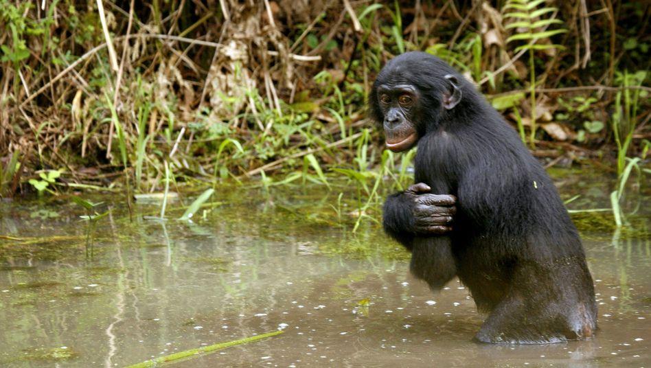 Bonobo im Kongo: Unter Schutz stehen nur 10 Prozent der Lebensräume von Menschenaffen in Afrika