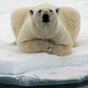 A polar bear in Alaska: Al Gore's film neglects to mention that it would take several centuries for Greenland and western Antarctica to become ice-free.