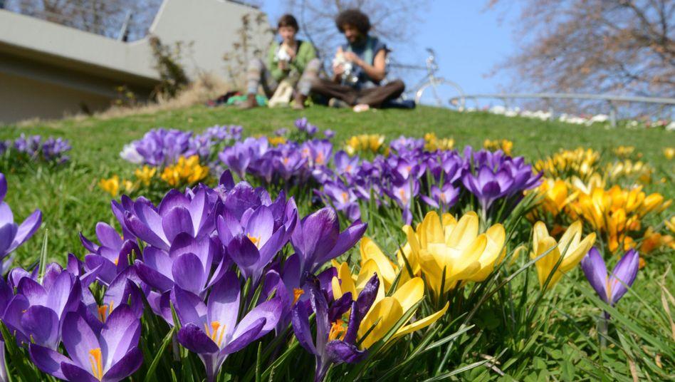 Blühende Krokusse in Freiburg: Ein sonniges Wochenende kommt