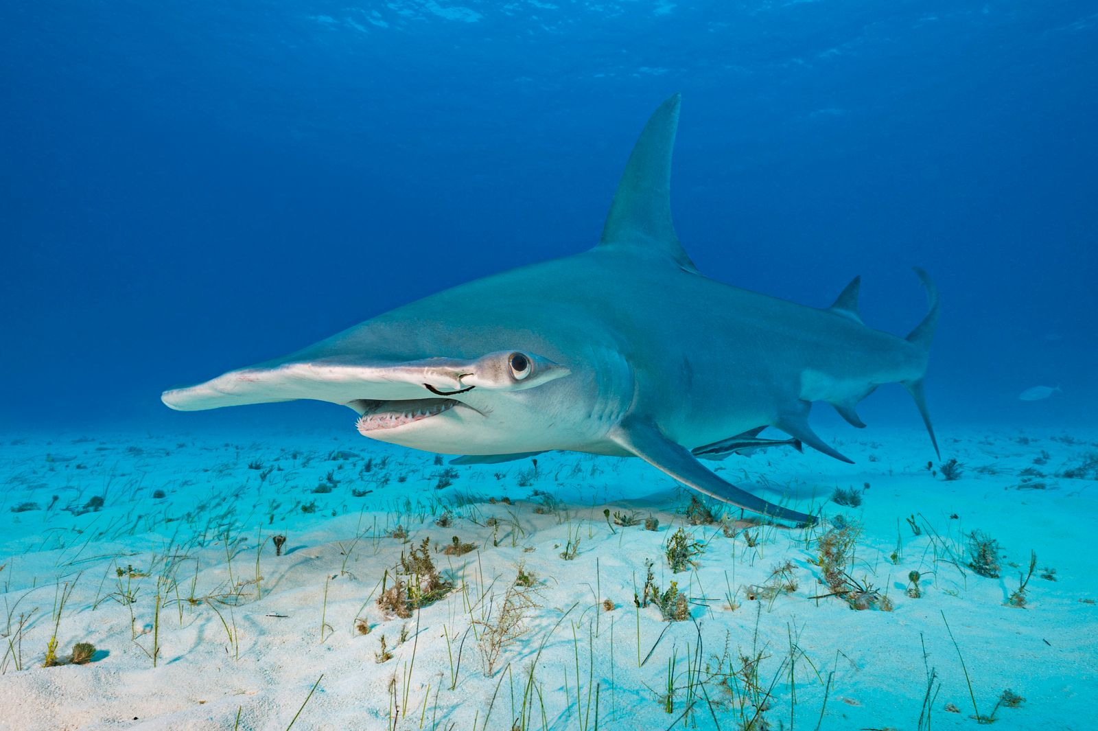 Great hammerhead shark (Sphyrna mokarran) female in shallow water. This individual has a rusted fishing hook through her