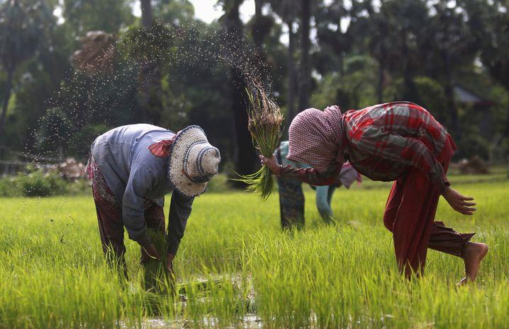 Reisbauern in der Provinz Kampong Chhnag