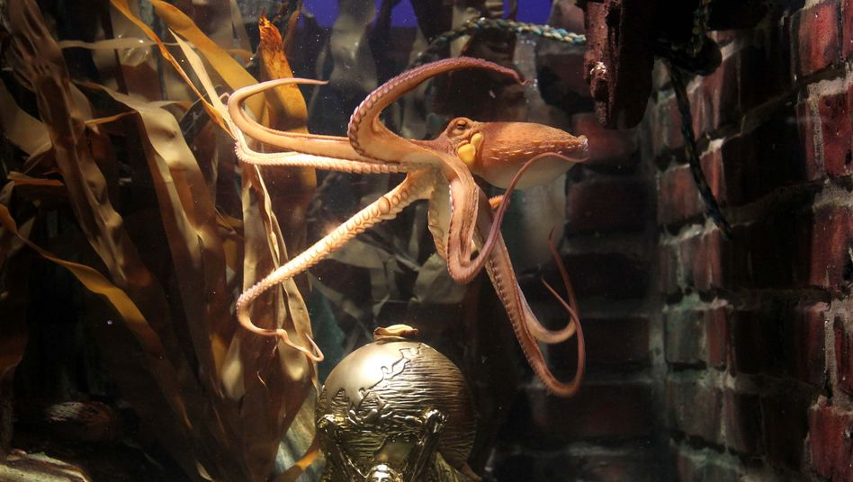 Just five weeks ago, Paul the octopus swam around his tank in relative obscurity.