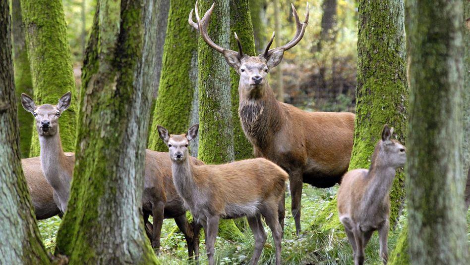 Rothirsch mit weiblichen Artgenossen in einem Wildpark im Kreis Segeberg