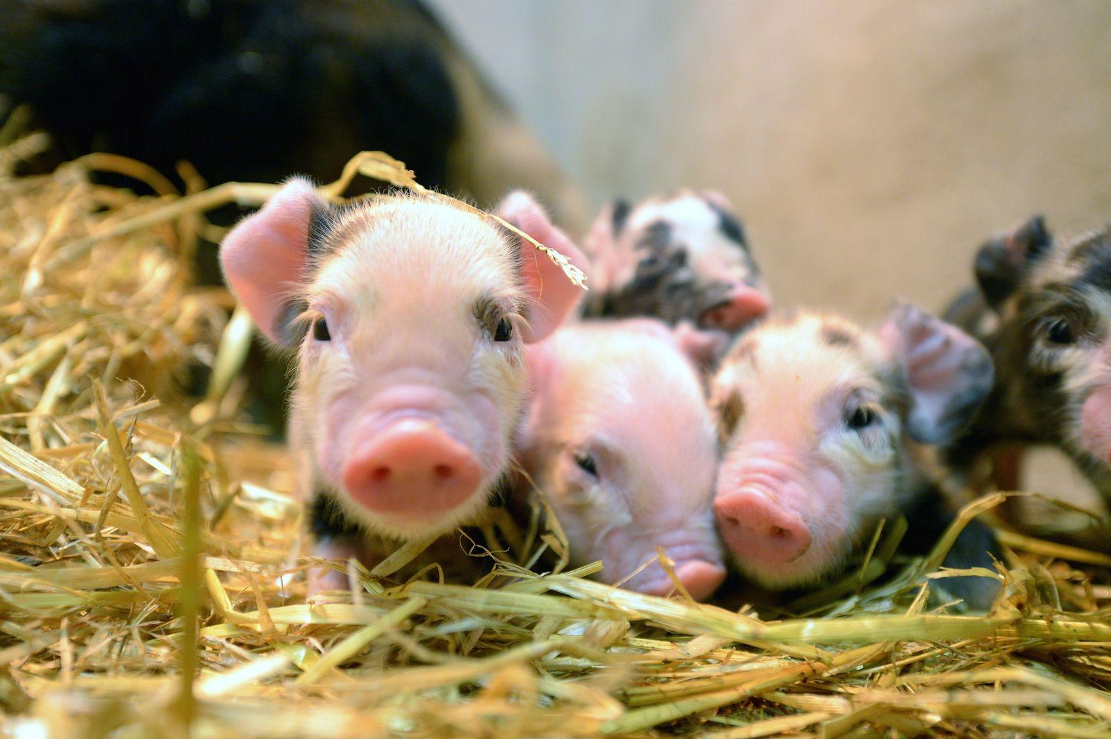 Schwein / Schweine / Ferkel