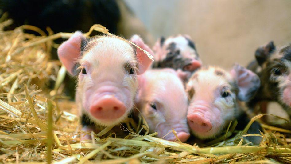 Neugeborene Ferkel in der Tierklinik an der Uni Glasgow
