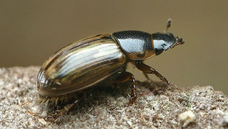 Vielfalt der Insekten: Dungkäfer