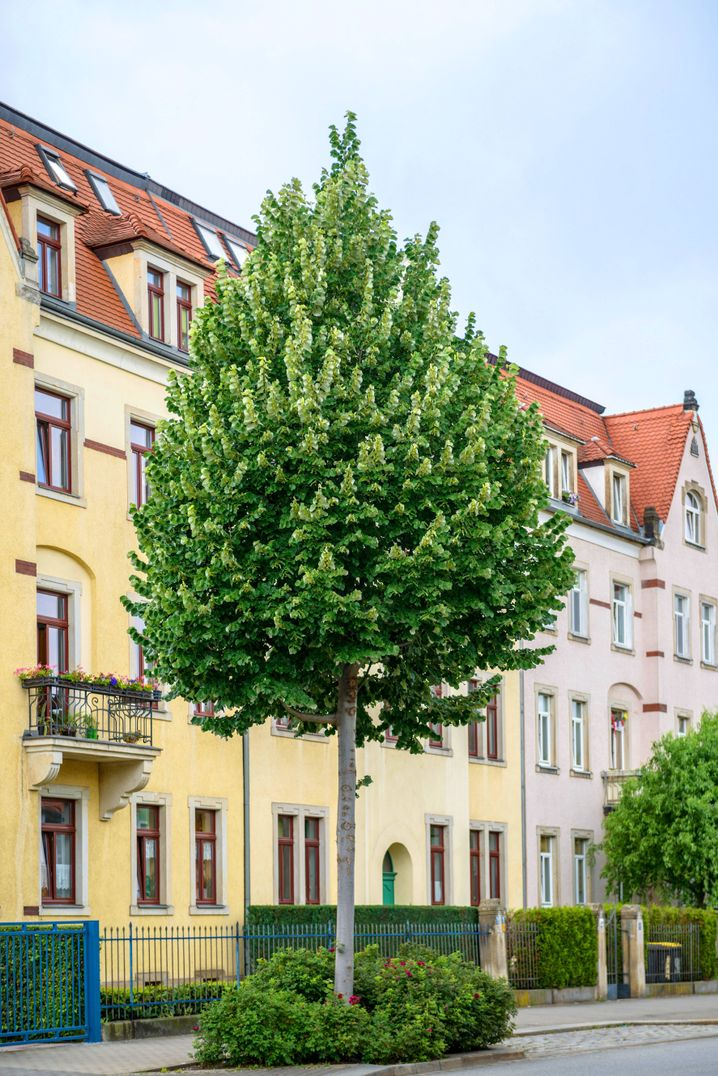 Silberlinde vor einem Wohnhaus in Dresden