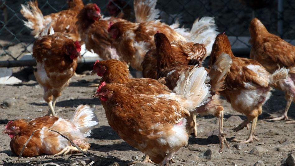 Hühner: Schweineproteine wieder in der Nahrung?