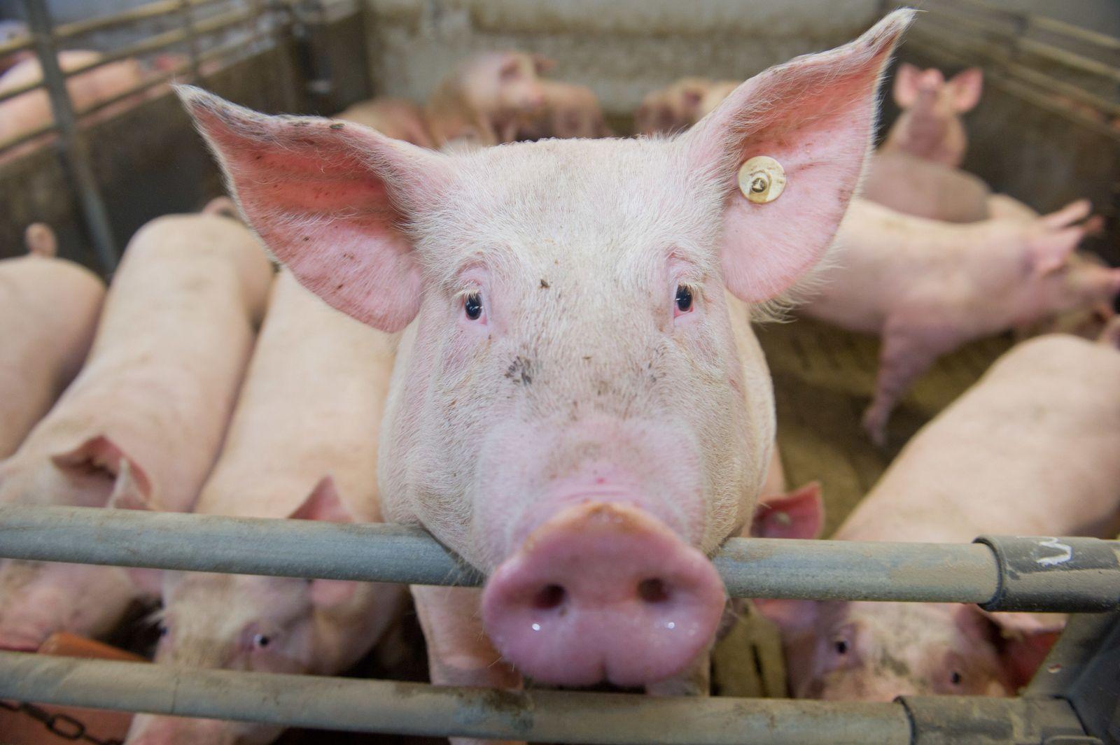 Tierwohl/ Schweinemast
