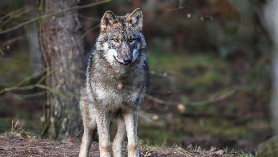 Wolf im Wildpark Schorfheide in Brandenburg (Archivbild)