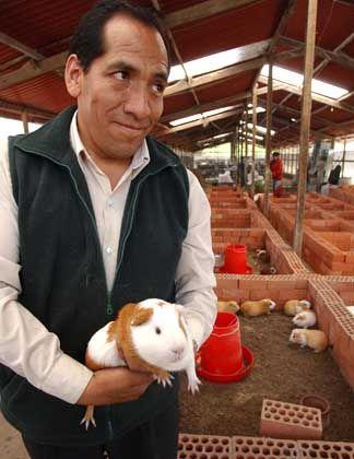 Humberto Yaringano von der Universität La Molina mit Super-Meerschweinchen: Dicker Brocken