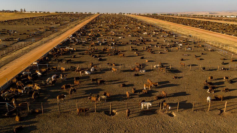 Intensive Rinderzüchtung in Südamerika führt zum Abholzen von Regenwald und damit nicht nur zum Klimawandel, sondern auch zum Verlust von Tier- und Pflanzenarten.