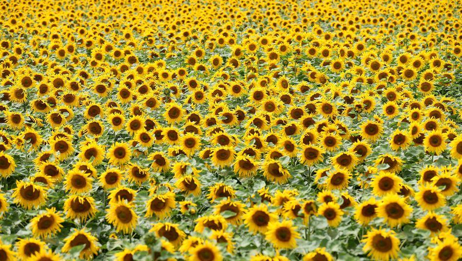 Sonnenblumen auf einem Feld bei Priestewitz in Sachsen: Welche Absichten sind gemeint?