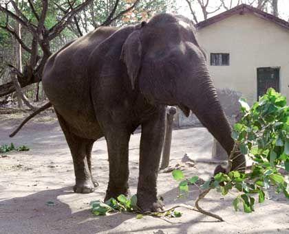 Indischer Elefant mit Fliegenscheuche