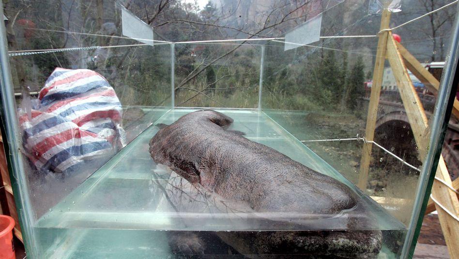 Chinesischer Riesensalamander: Bis zu 1,80 Meter lang