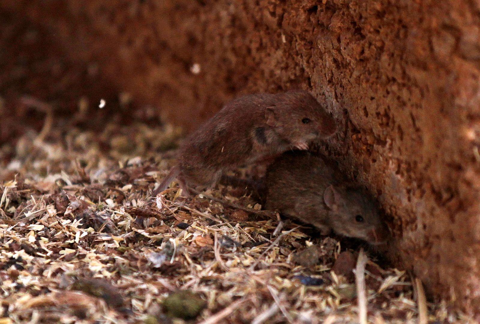 Mice run away from a silo in a farm near Parkes