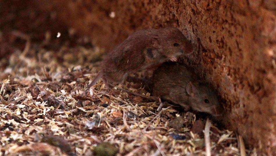 Mäuse in Australien (Symbolbild)