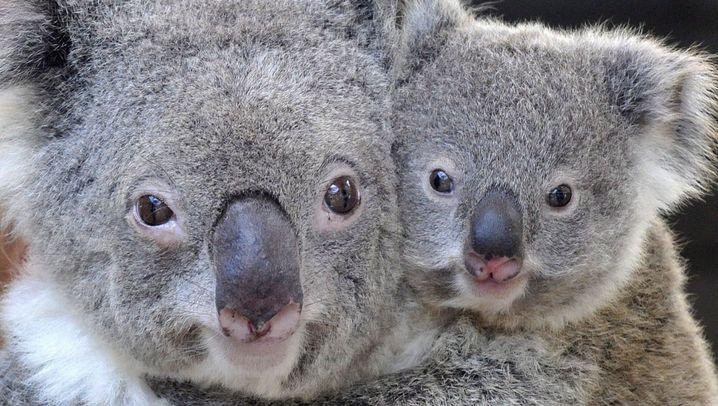Artenschutz: Rettet die Koalas!