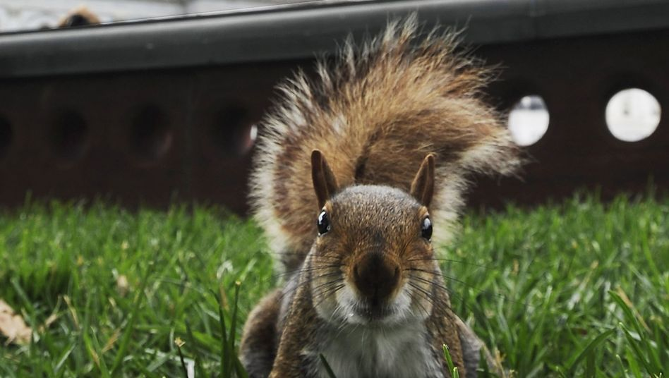 Eichhörnchen (vor dem US-Kapitol in Washington): gefährliche Nager