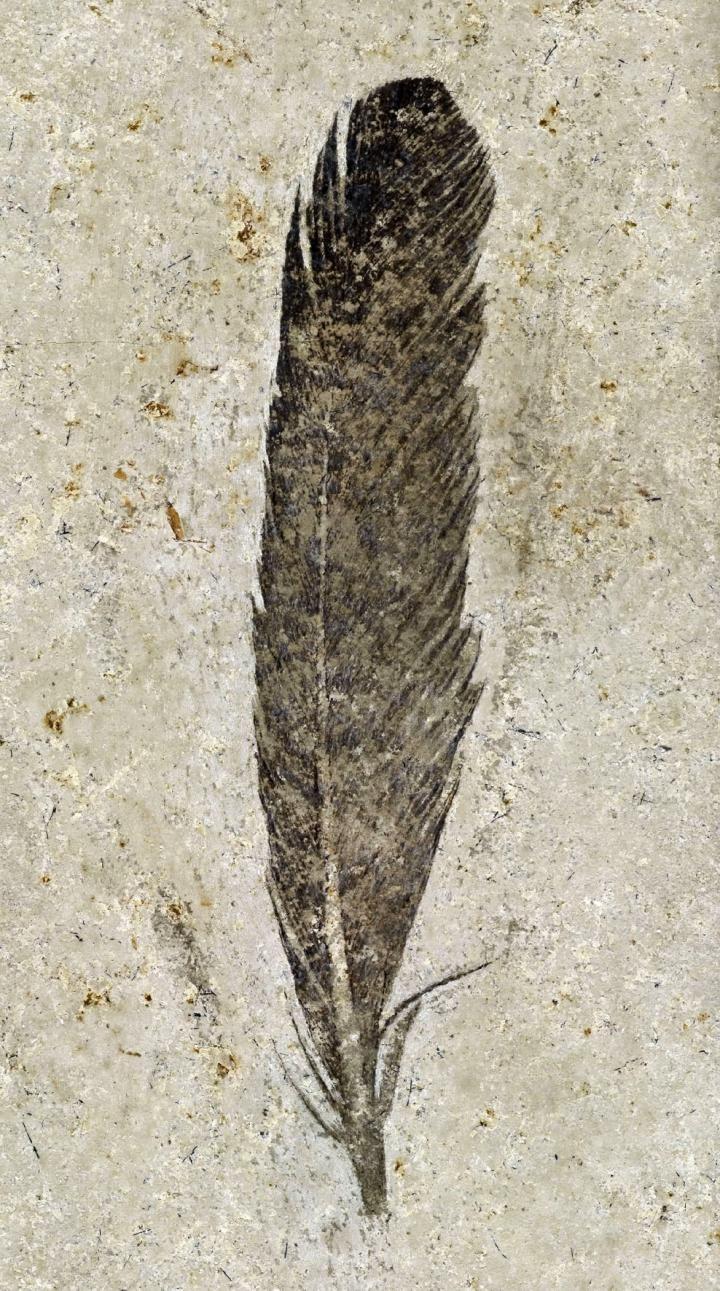 Lange untersuchte Feder gehörte Urvogel Archaeopteryx