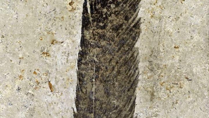 Versteinerte Feder aus einem Steinbruch