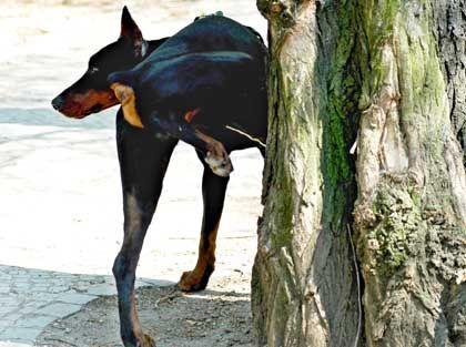Pinkelnder Hund: Nicht alles riecht gut in der freien Natur