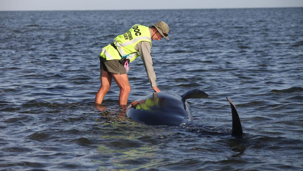 Neuseeland: 64 gestrandete Wale gerettet