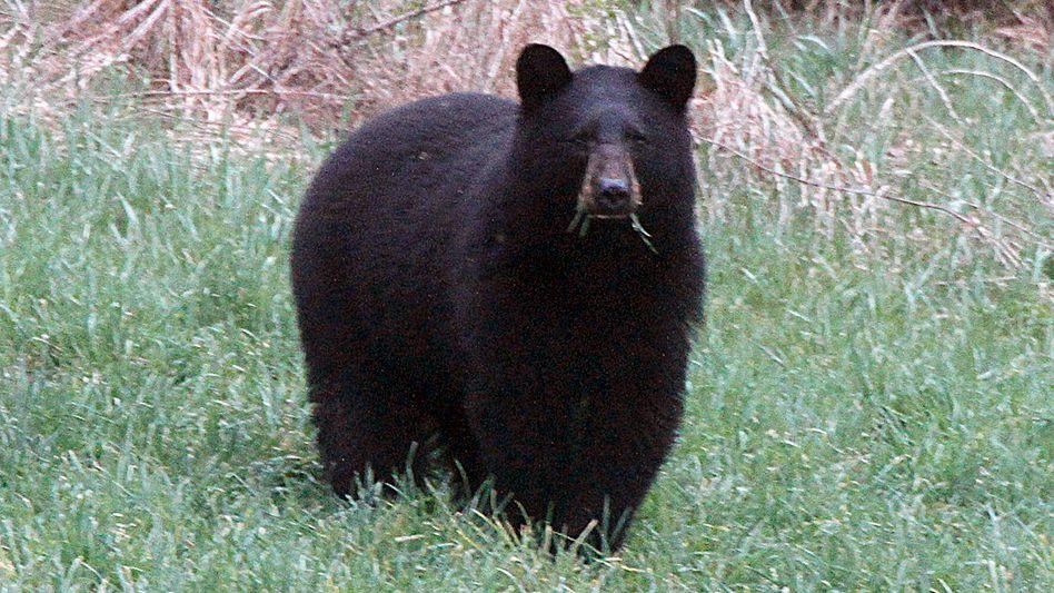 Schwarzbär (Symbolbild)