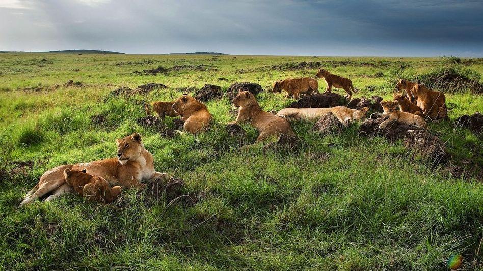 Löwenrudel im Nationalpark Masai Mara in Kenia