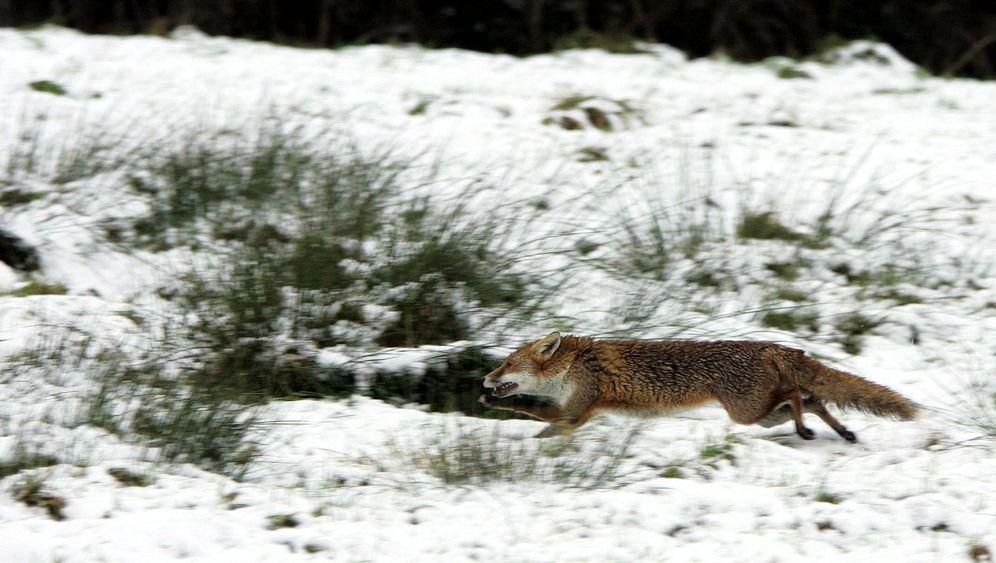 Fuchsjagd in Großbritannien: Von Hunden zerfetzt