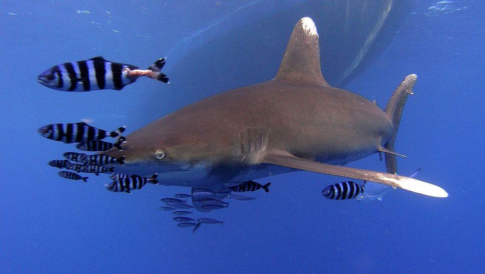 Scharm al-Scheich: Tödliche Hai-Attacken im Roten Meer