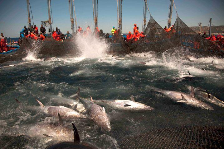 Thunfischjagd in Spanien: Durch die industrielle Fischerei und hohe Fangquoten können sich die Bestände nicht mehr erholen