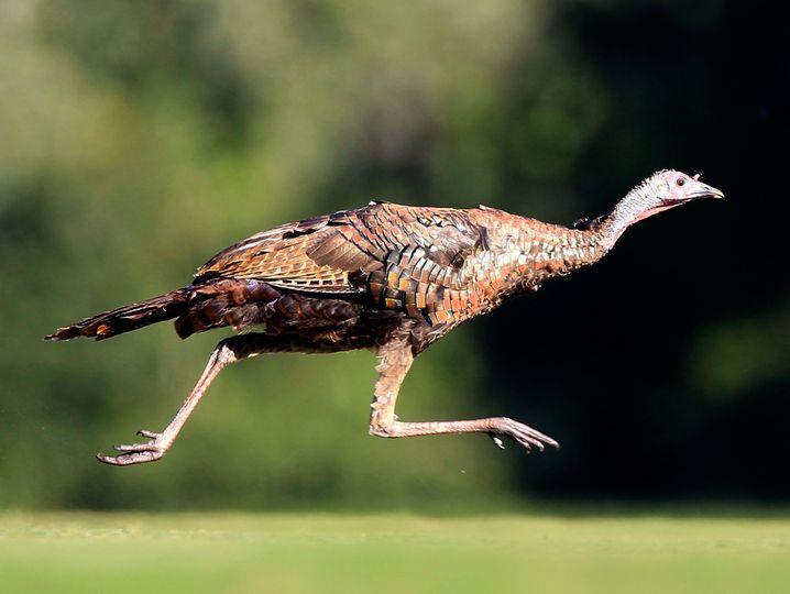 Truthahn: Wann wurde der Vogel domestiziert?