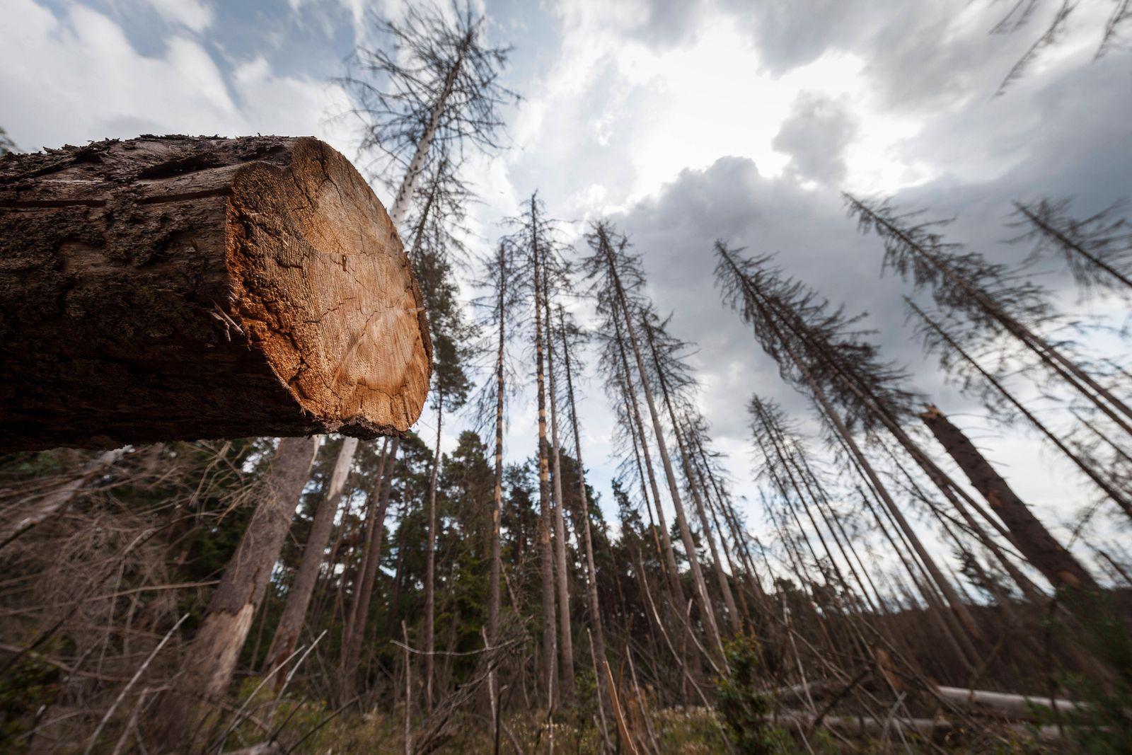 Schleiden, DEU, 03.08.2020 Waldschaeden, abgestorbene Fichten nach Befall durch Borkenkaefer im Nationalpark Eifel *** S