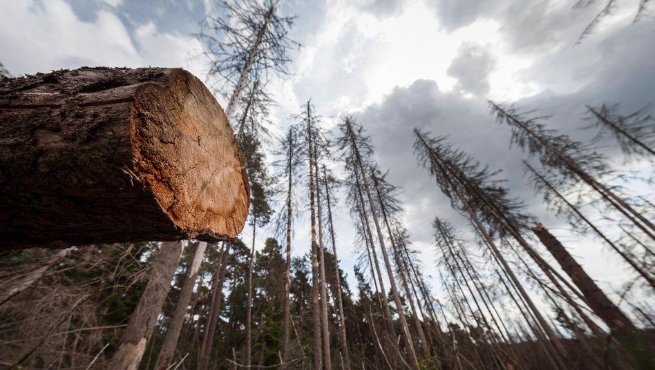Abgestorbene Fichten nach einem Befall durch Borkenkäfer im Nationalpark Eifel- wie hier sieht es vielerorts aus