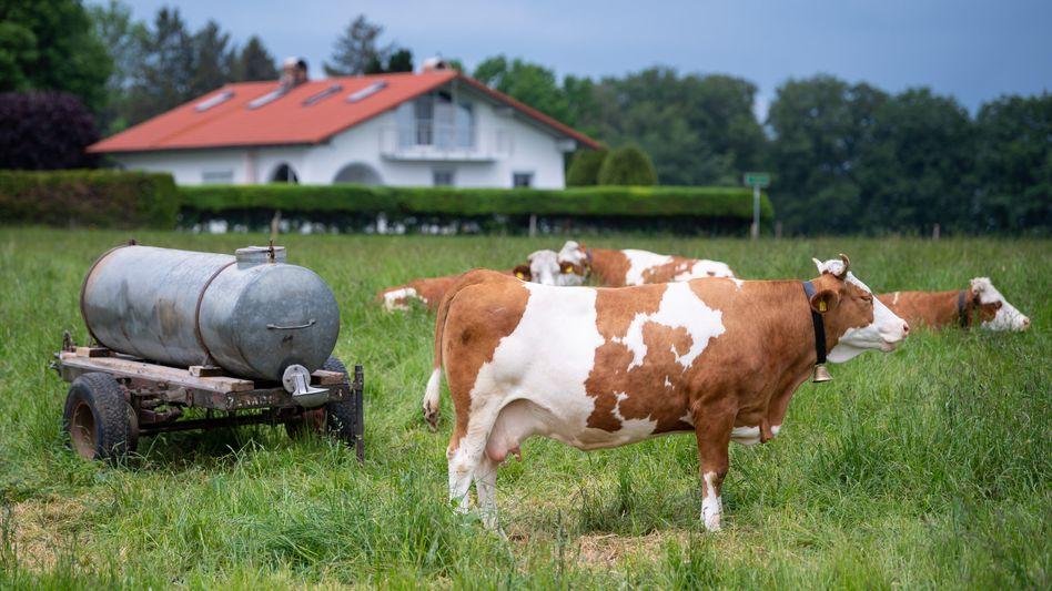 Streitobjekt: Die Kühe von Bäuerin Regina Killer