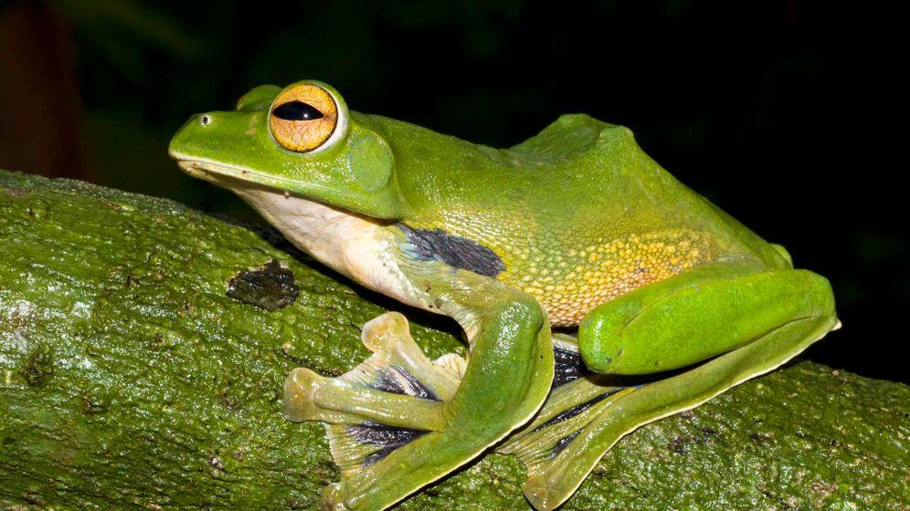Neue Art: Fliegender Frosch in Vietnam