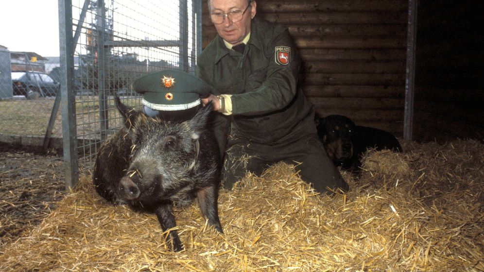 Borsten-Promis: Schweine als Surfer, Künstler, Filmstars