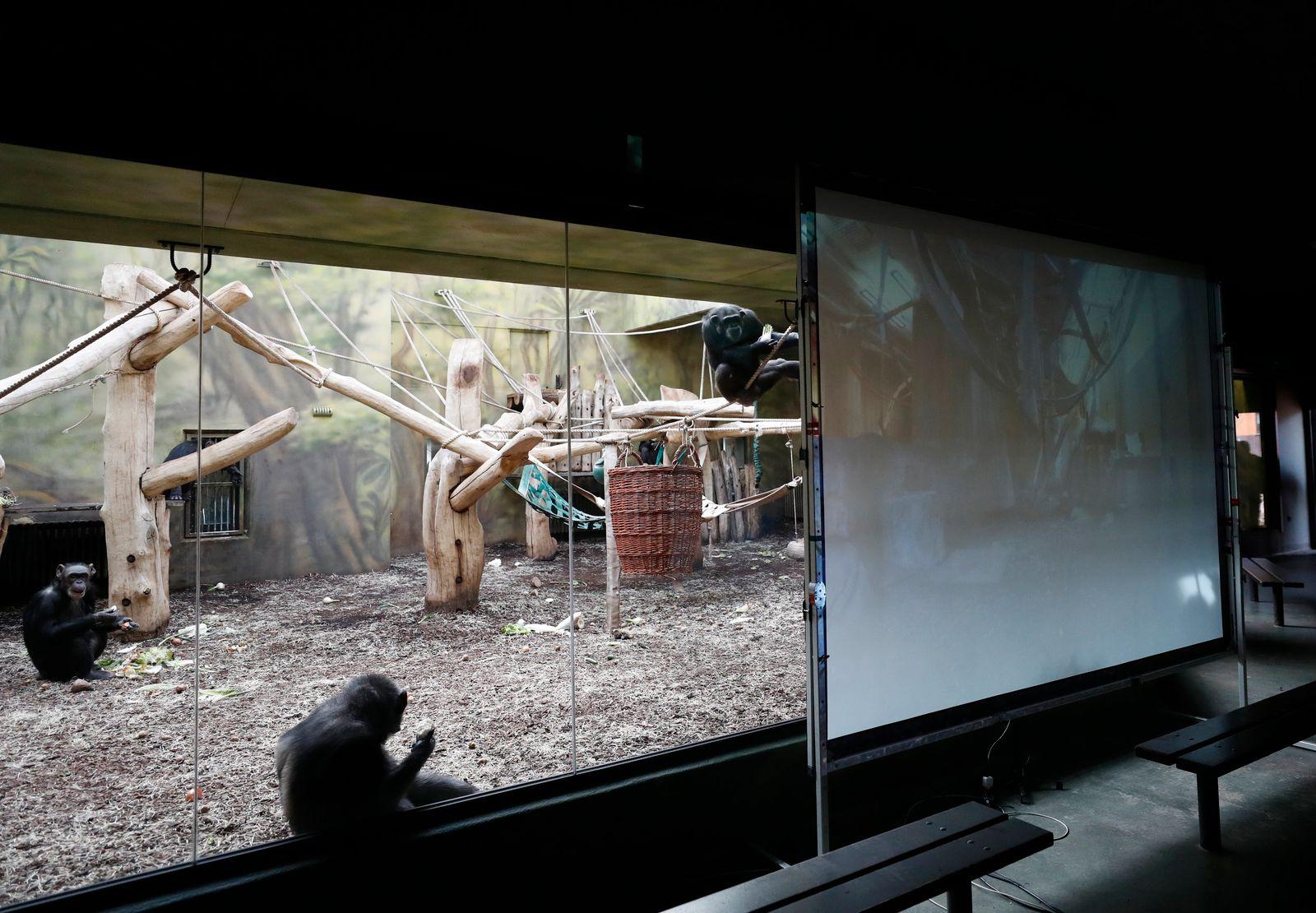Videoschalte für gelangweilte Zoo-Schimpansen