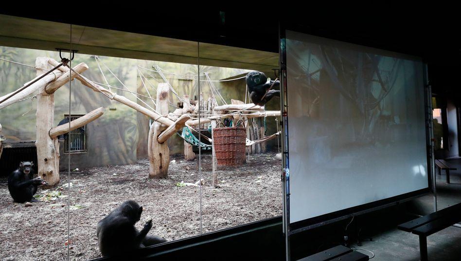 Unterhaltungsprogramm für Affen: Schimpansen im Safaripark in Dvůr Králové