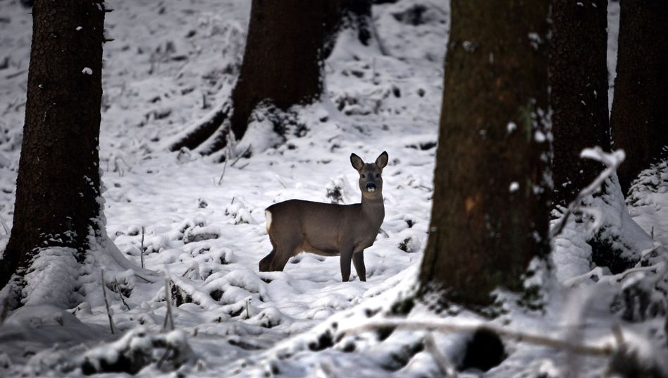 A deer similar to this one got trapped in ice on a frozen lake in Germany.