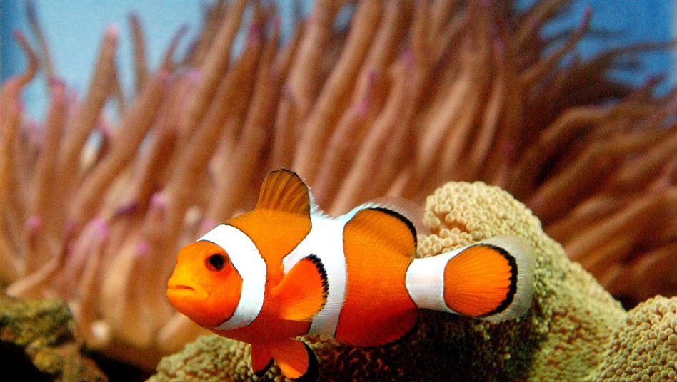 Zu den Riffbarschen gehörender Clownfisch: Artgenossen erkennen anhand von UV-Mustern