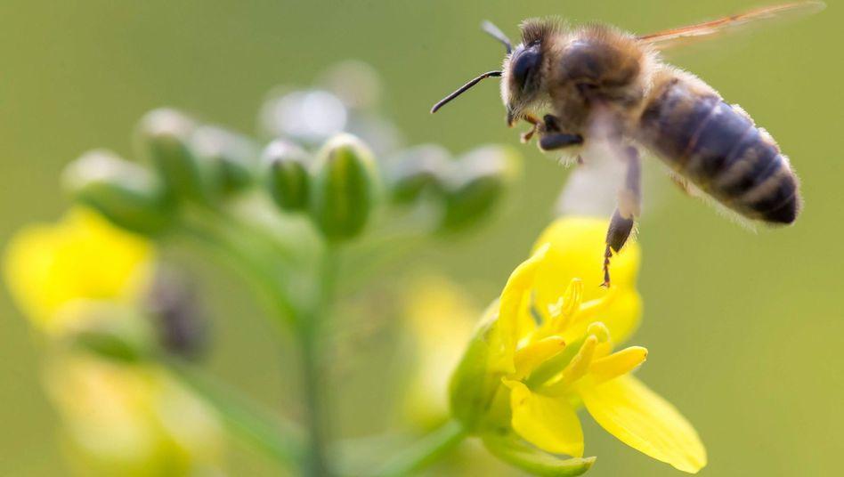 Biene: Wenn so ein Insekt in die Flugzeugtechnik gerät, kann das sogar die Gerichte beschäftign