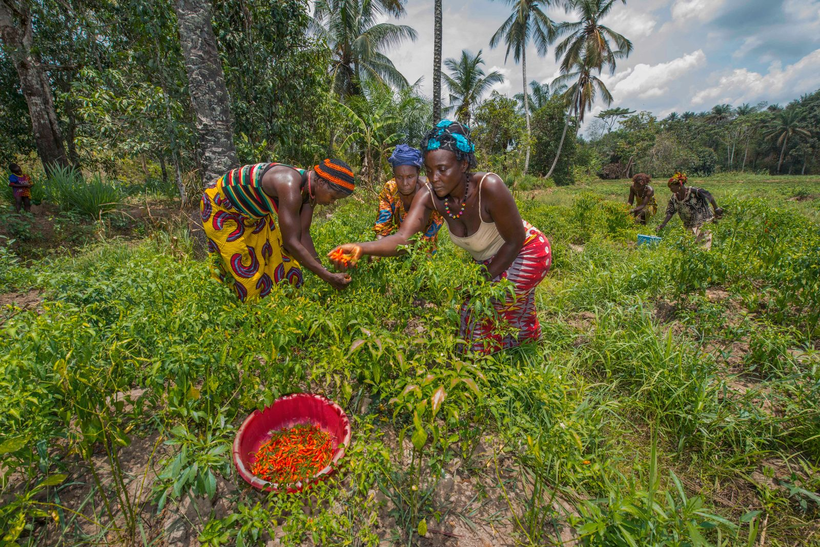 April 30, 2014, Mafinda, Sierra Leone: Agricultural Farmers working in a field in Mafinda, Sierra Leone. This swampland