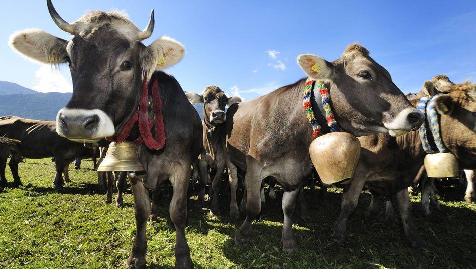 Kühe mit Glocken in Bayern (Archiv)