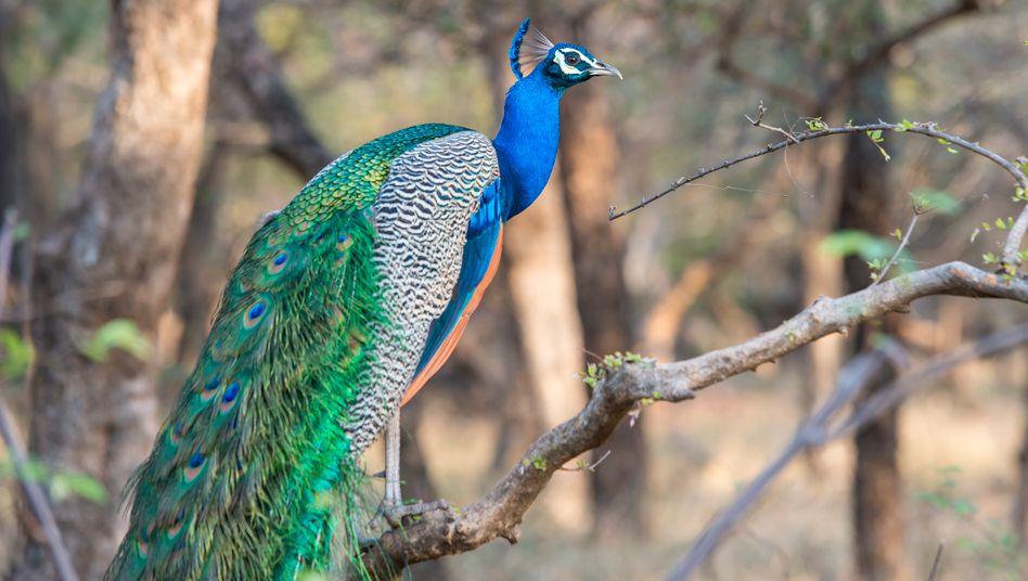 Pfau in einem Nationalpark in Indien (Archivfoto)